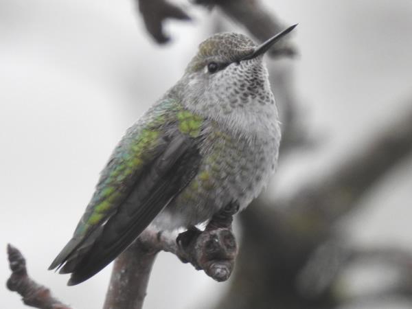 01 Anna's Hummingbird.jpg