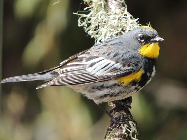 01 audubon warbler.jpg