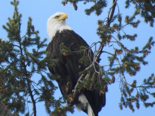 01 Bald Eagle.jpg