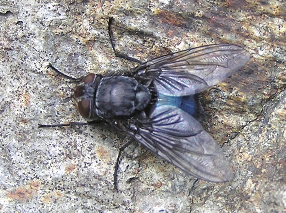01 blue bottle fly ,Calliphora vomitoria.jpg