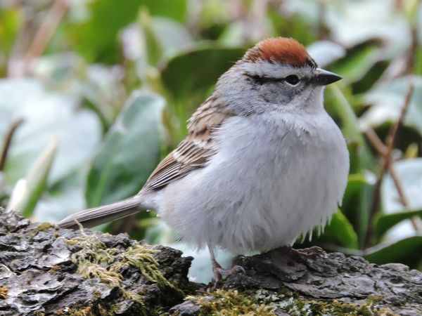 01 chipping sparrow.jpg