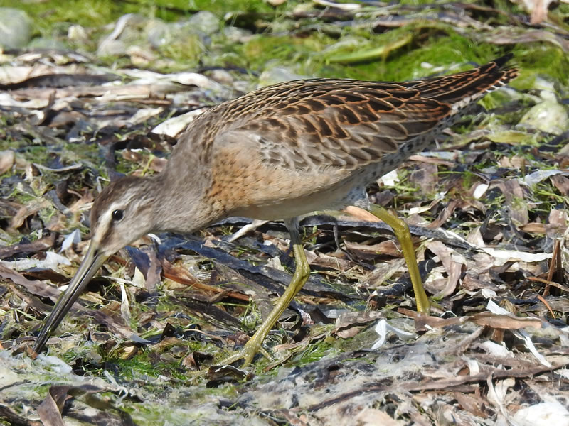01 dowitchers.jpg