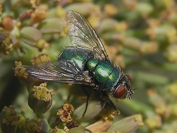 01 Green bottle fly, Lucilia caesar.jpg