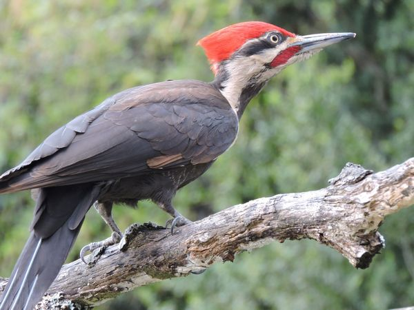 01 pileated woodpecker.JPG