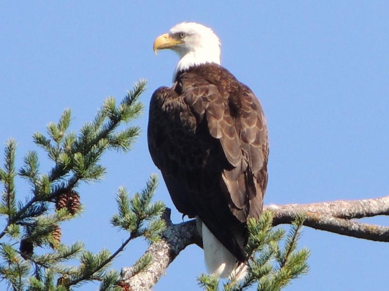 01bald eagle.jpg