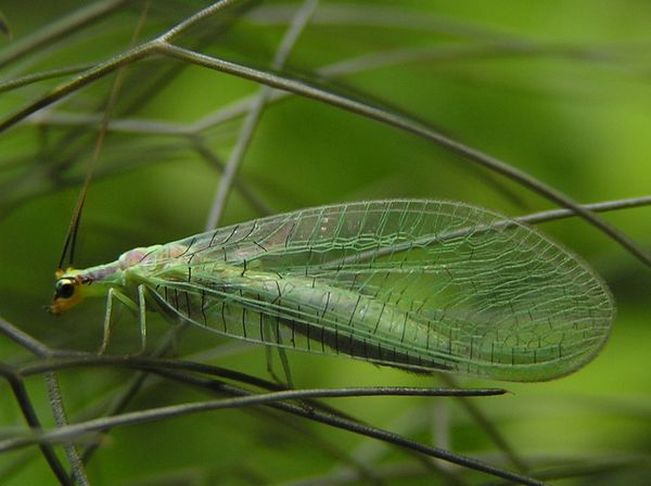 04 Green lacewing.jpg