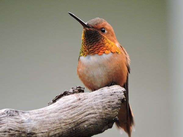 04 Rufous hummingbird male.jpg