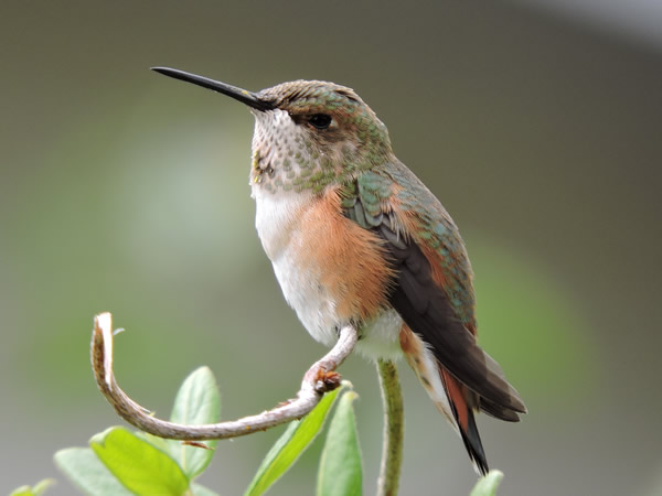05 rufous female.jpg