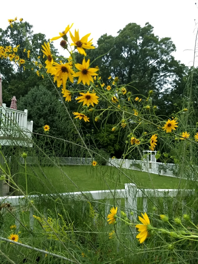 12 15 tall plant with long super narrow leaves yellow coreopsis 12 15 tall plant with long super narrow leaves yellow coreopsis type flowers in september mightylinksfo