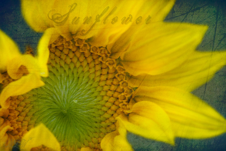 2018_IMG_2627_Sunflower.jpg