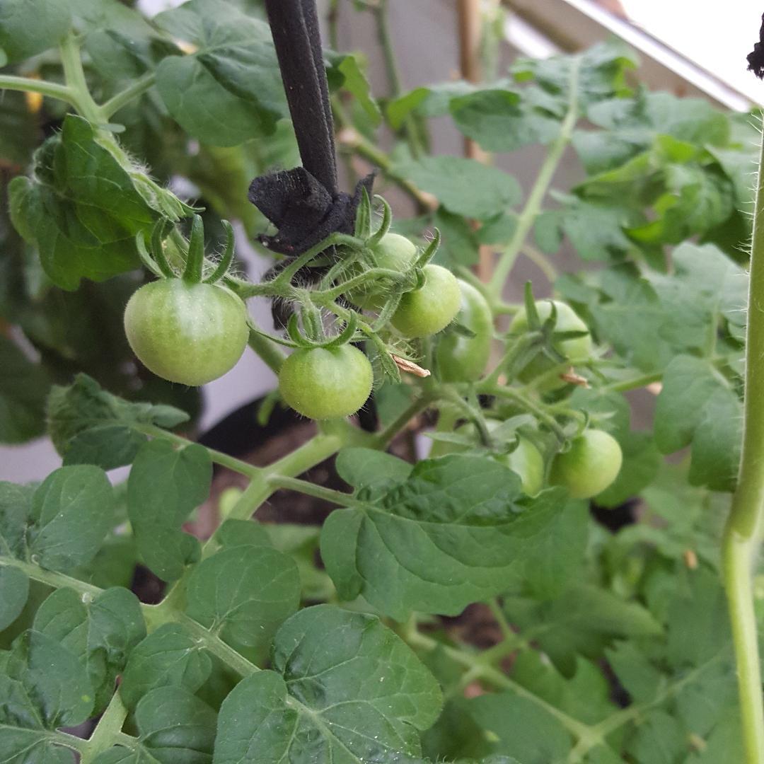 5-24-18 Red Robin Tomatoes.jpg