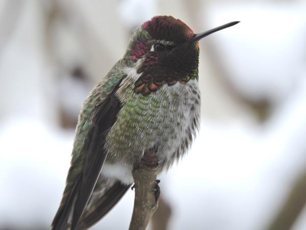 anna's male (2).jpg