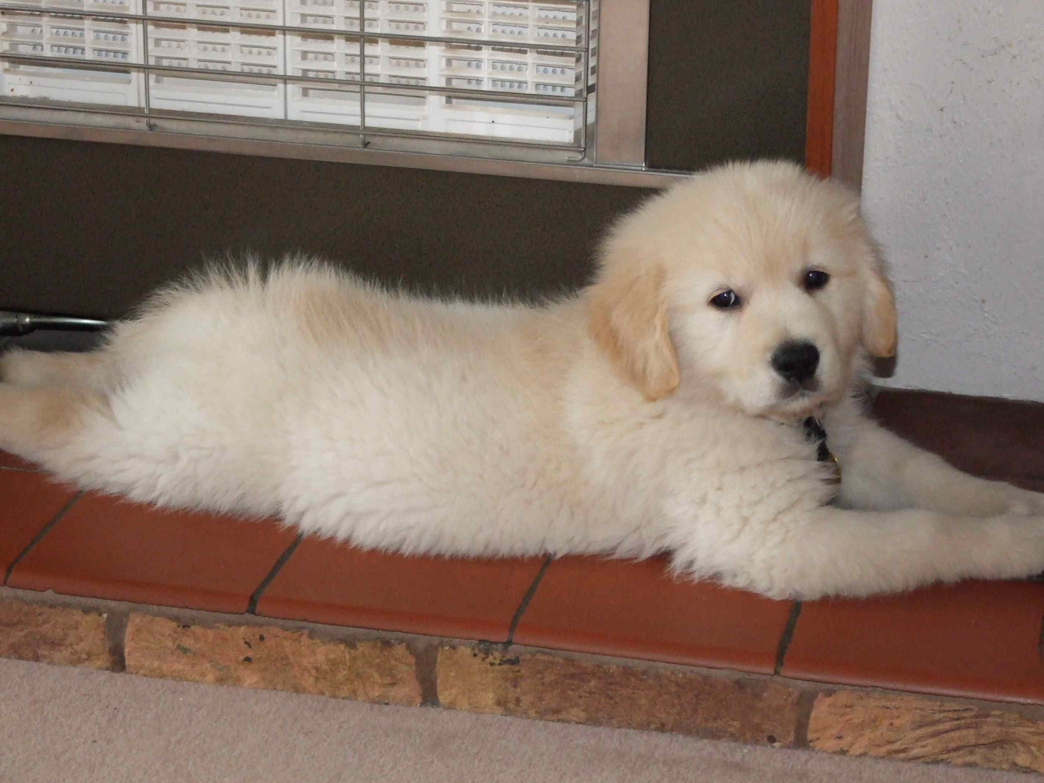 Barley puppy 2.jpg
