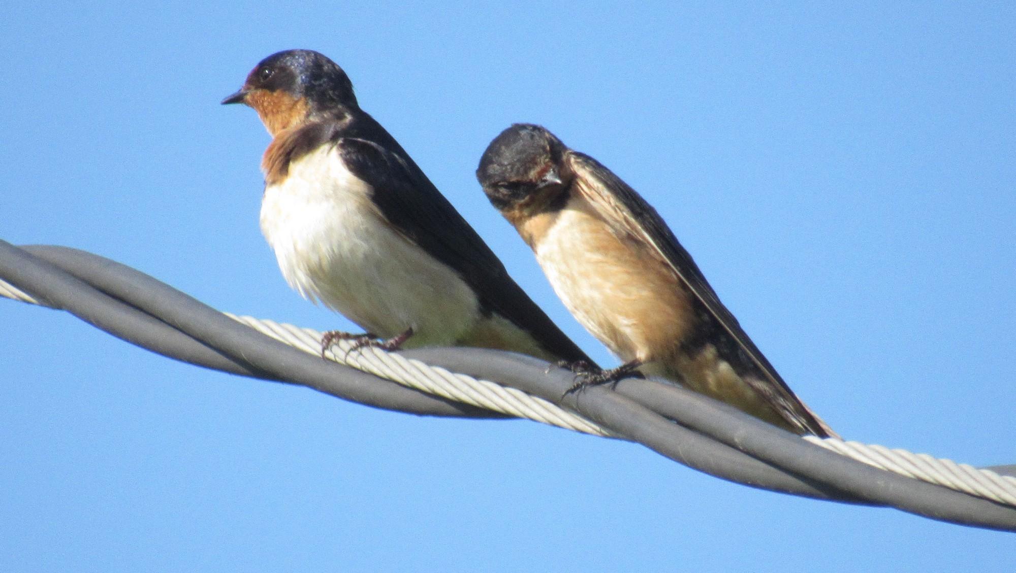 Barn swallow pair.jpg
