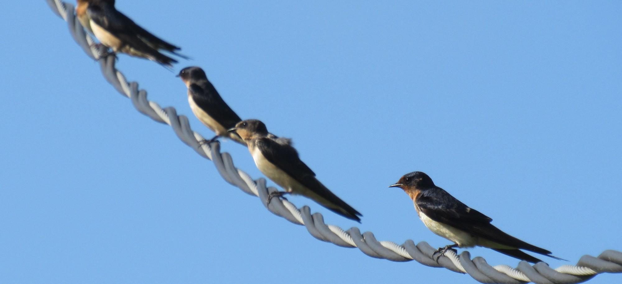 barn swallows on wire.jpg