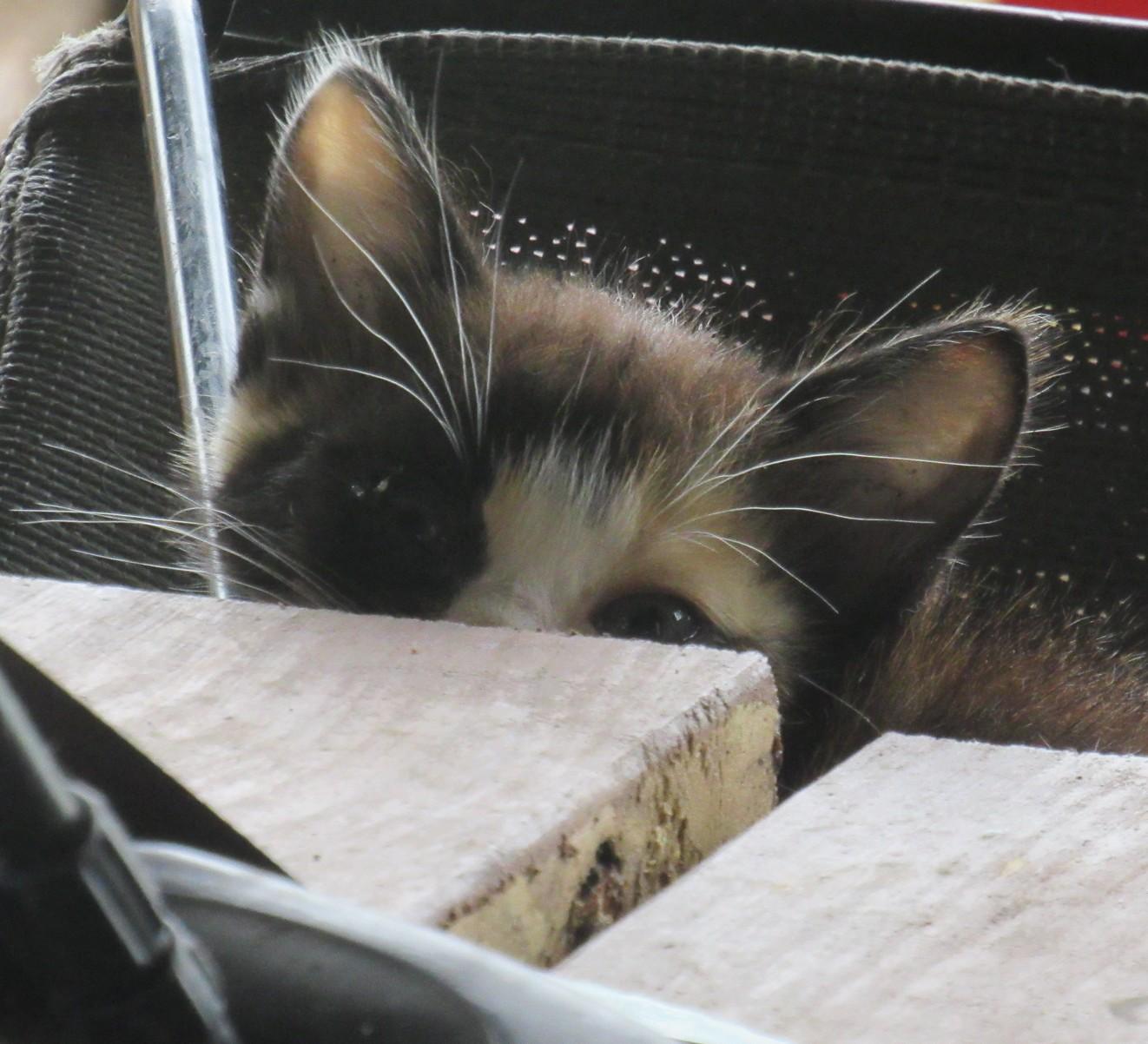 Calico peeking.jpg