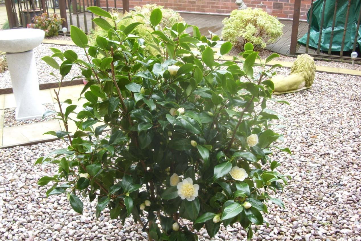 camellia 2 (2).jpg