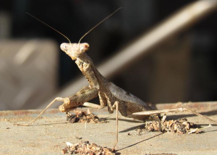 caption mantis.jpg
