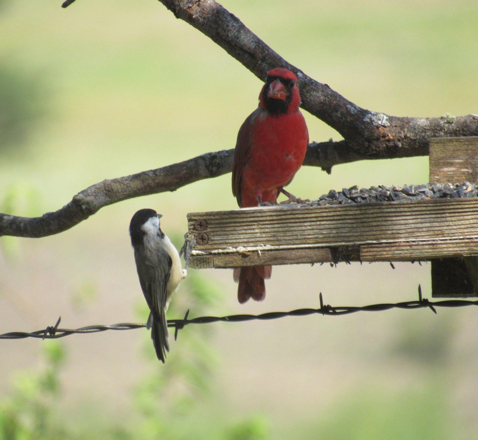 cardinal and chickadee.jpg