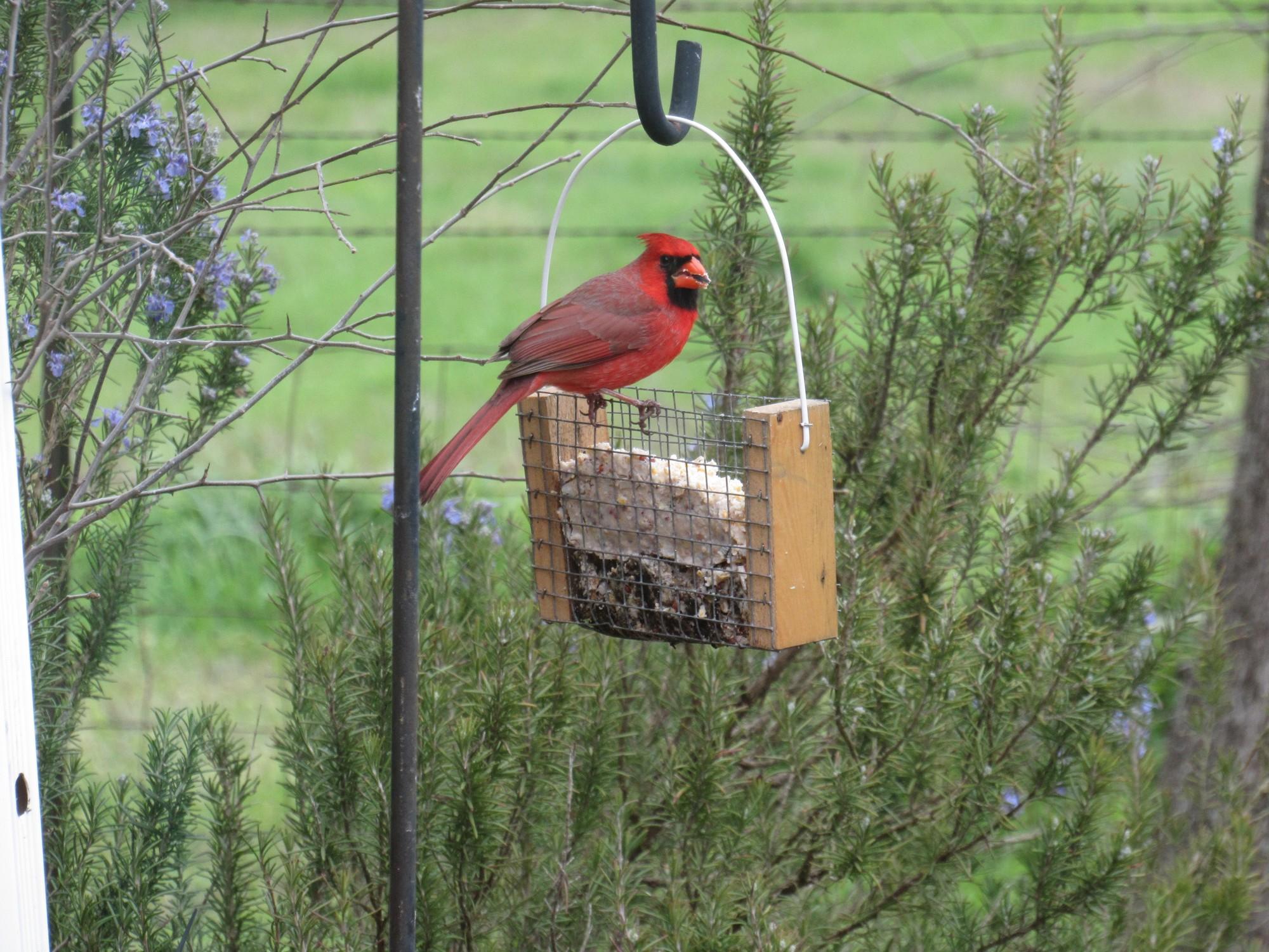 Cardinal on suet.jpg