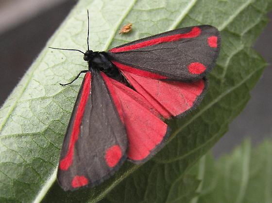 cinnabar moth.jpg