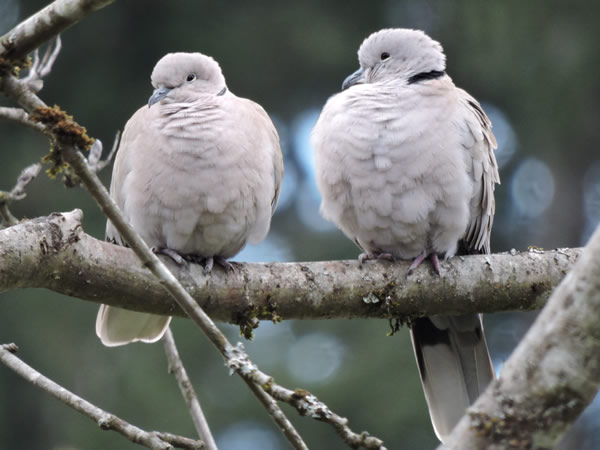 collared doves.jpg