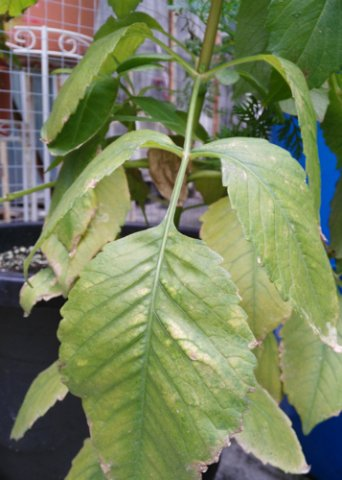 dahlia yellow leaves
