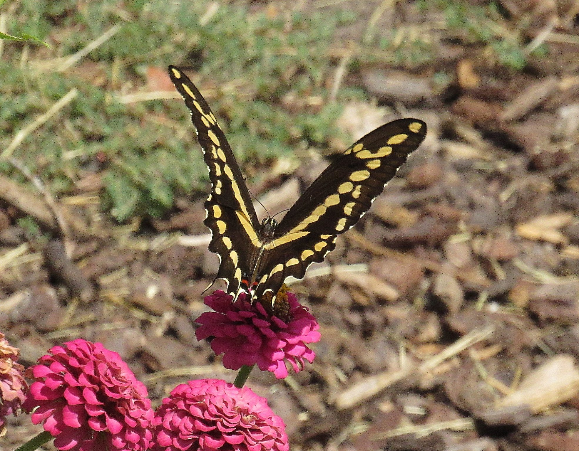 Giant Swallowtail c.jpg