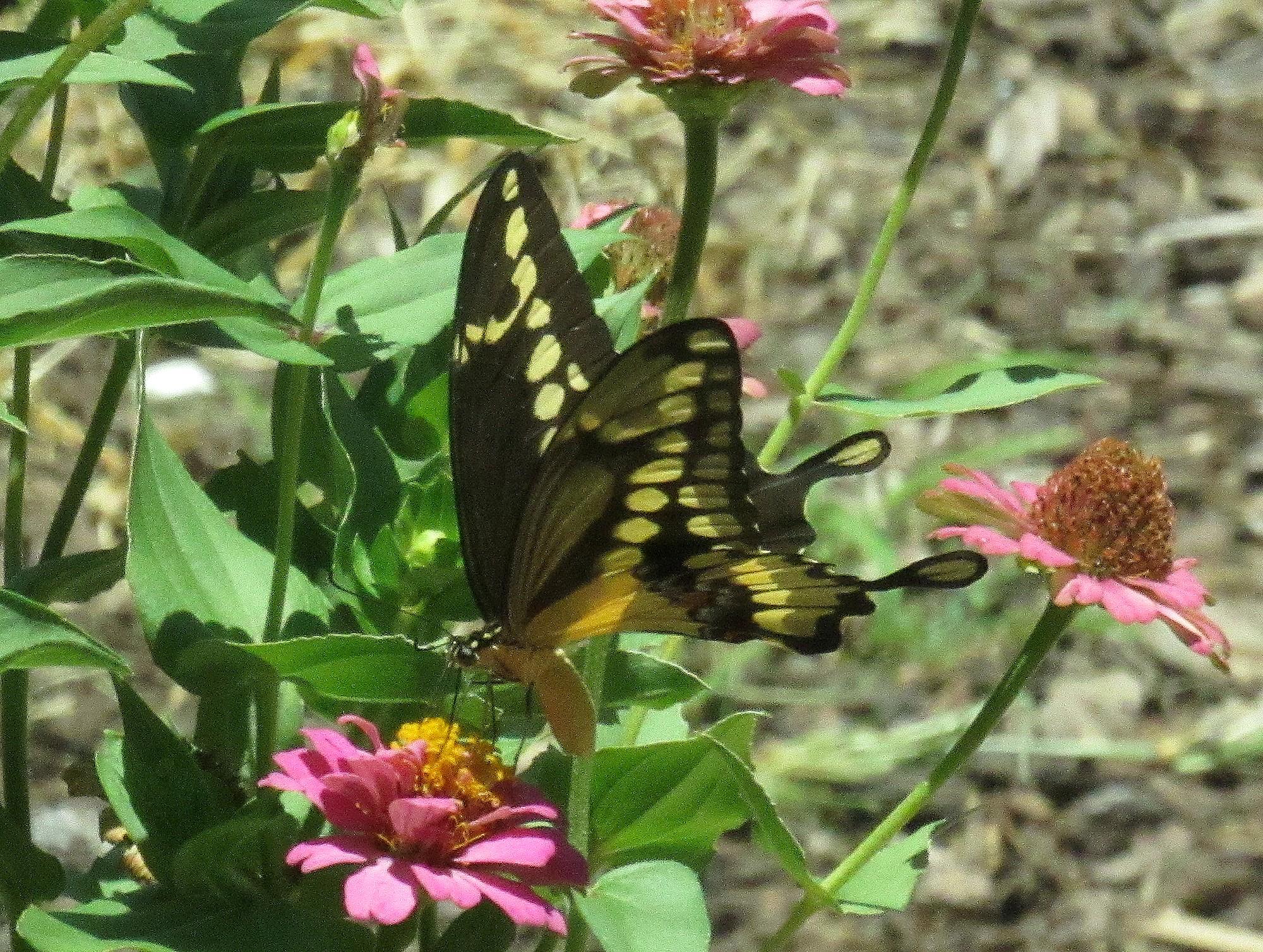 Giant Swalowtail b.jpg