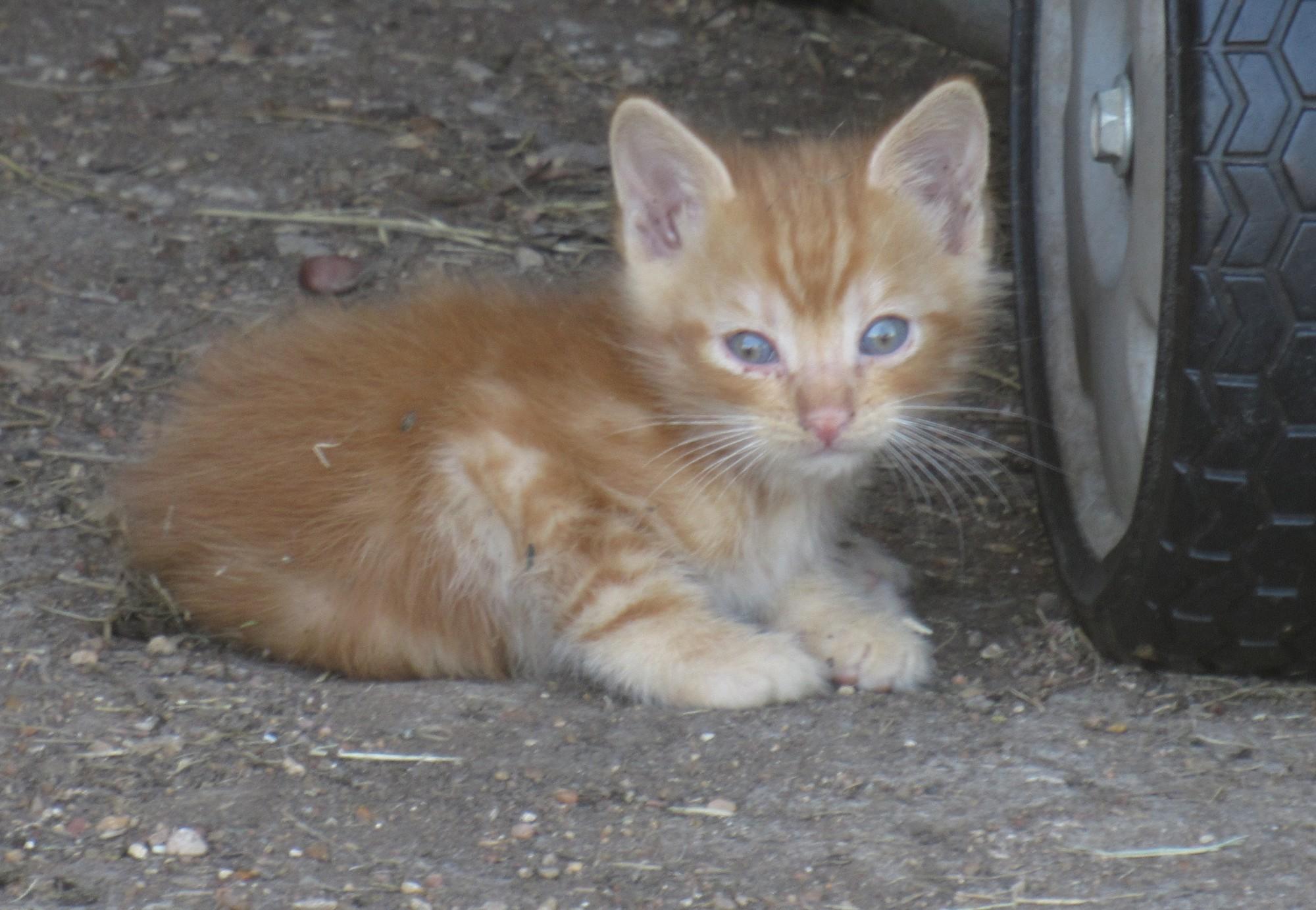 Golden kitten.jpg