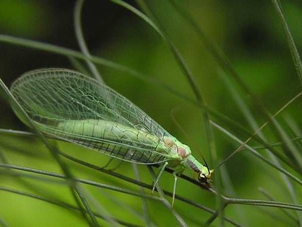 Green lacewing.jpg