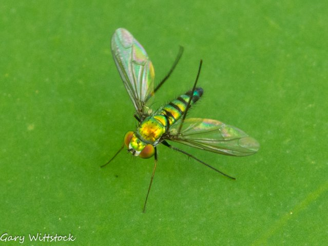 Green long legged Dolichopodid fly on Lotus.jpg