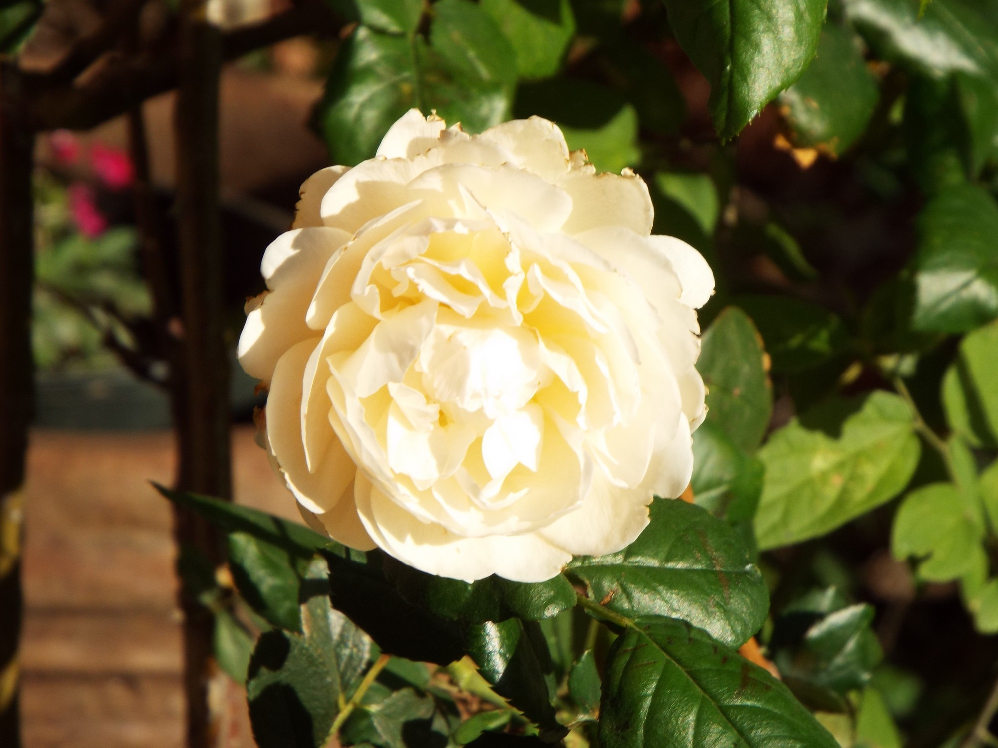 Lady Hillilngdon rose.jpg