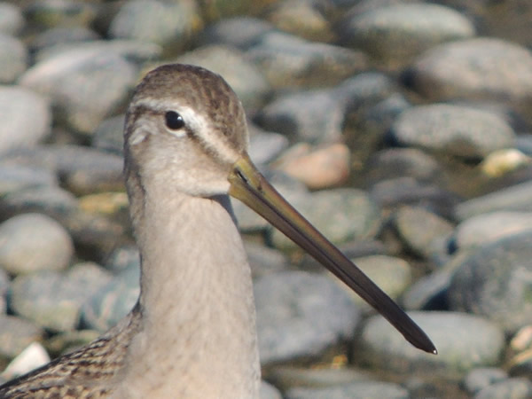 Long billed dowitcher.jpg