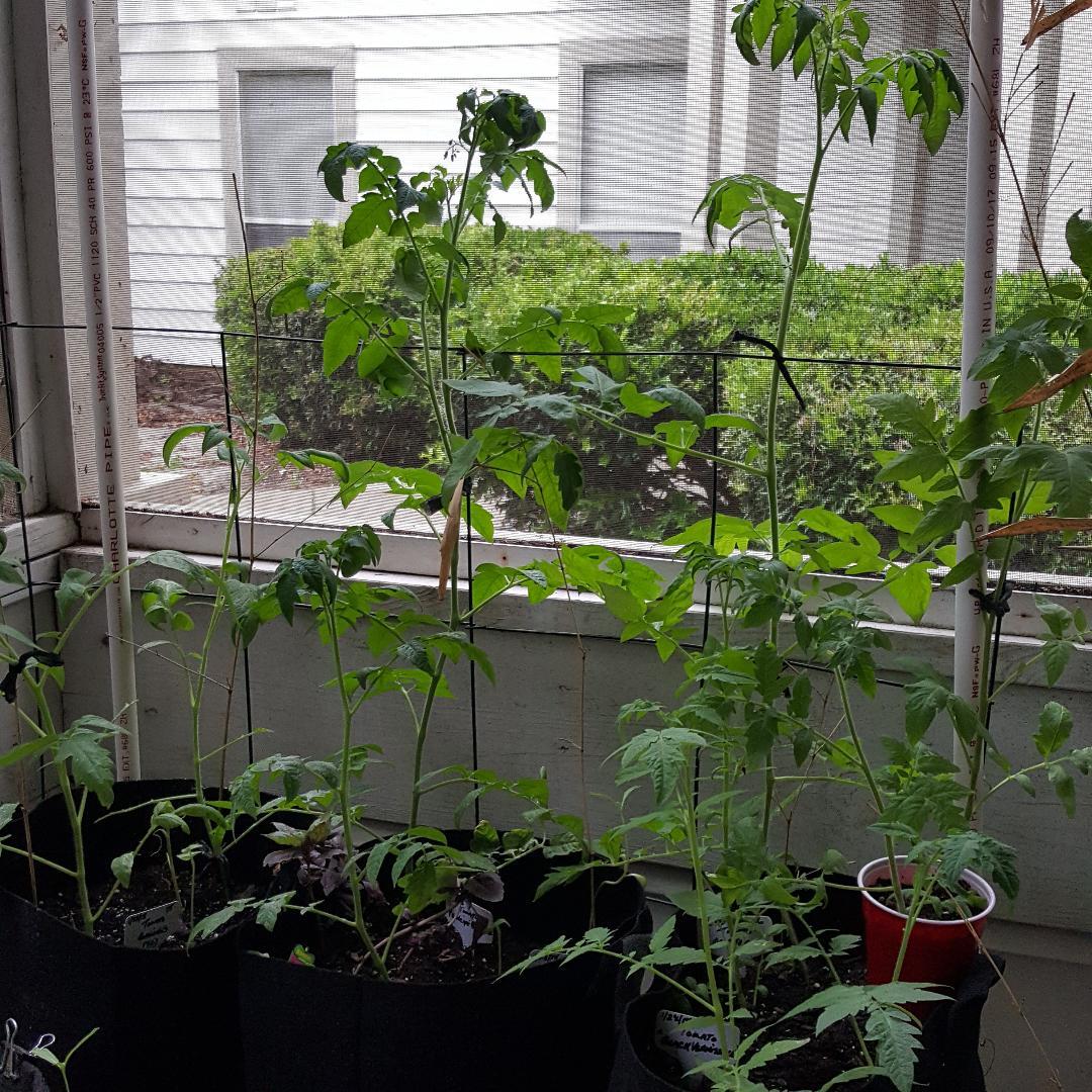 Many Tomatoes.jpg