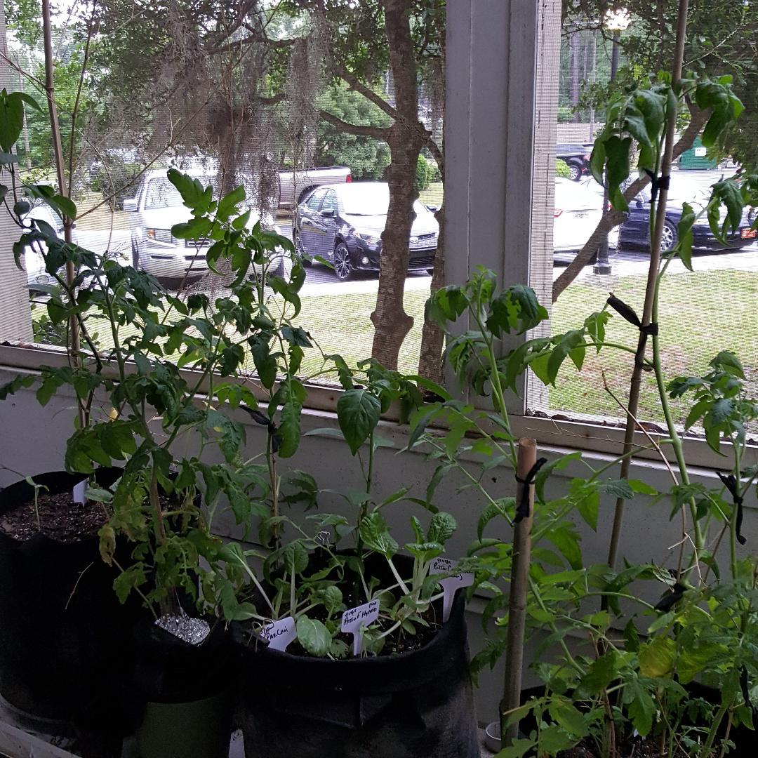 More Tomatoes.jpg