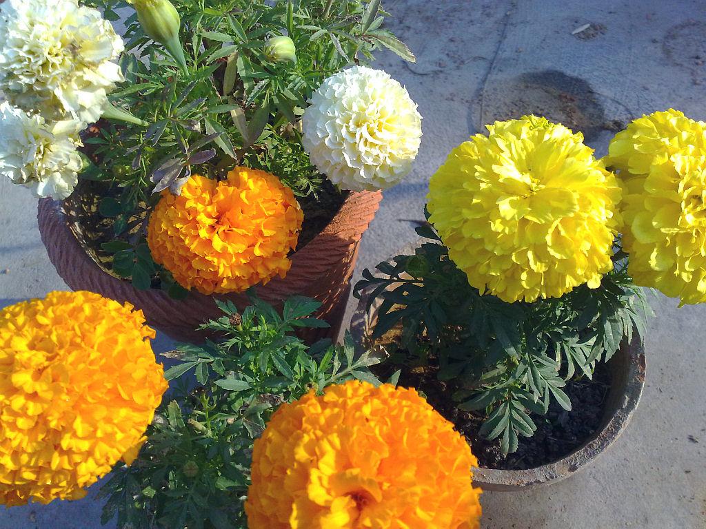 My Plants - Marigolds.jpg