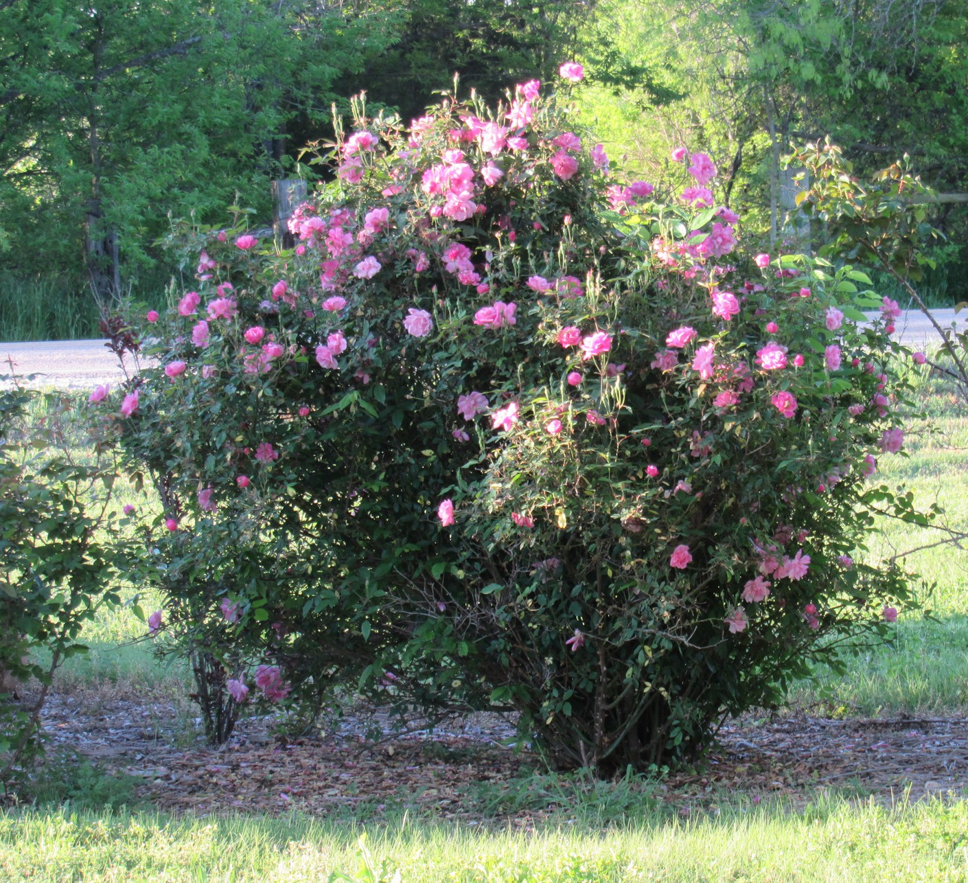 Old Blush rose bush.jpg