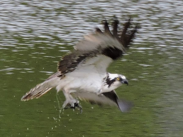 osprey1 .jpg