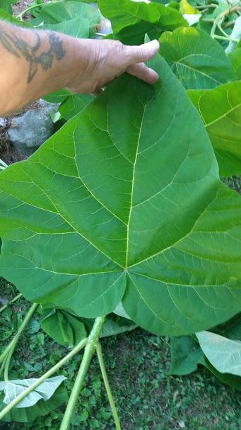 Paulownia tomentosa (Princess Tree)7.jpg
