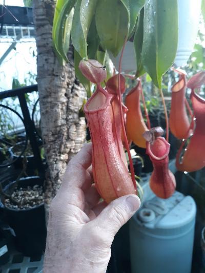 pitcher plant1.jpg