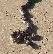 Rat Snake 1 (2).jpg