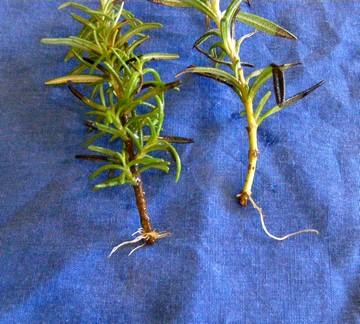 Rosemary Roots.jpg