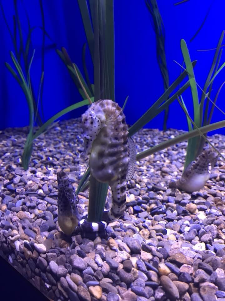 sea horses.jpg