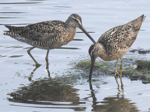 short billed dowitcher.jpg