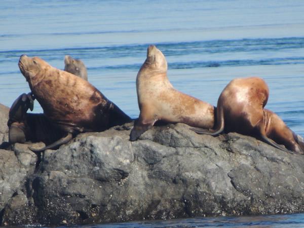 Steller sea lion (2).JPG
