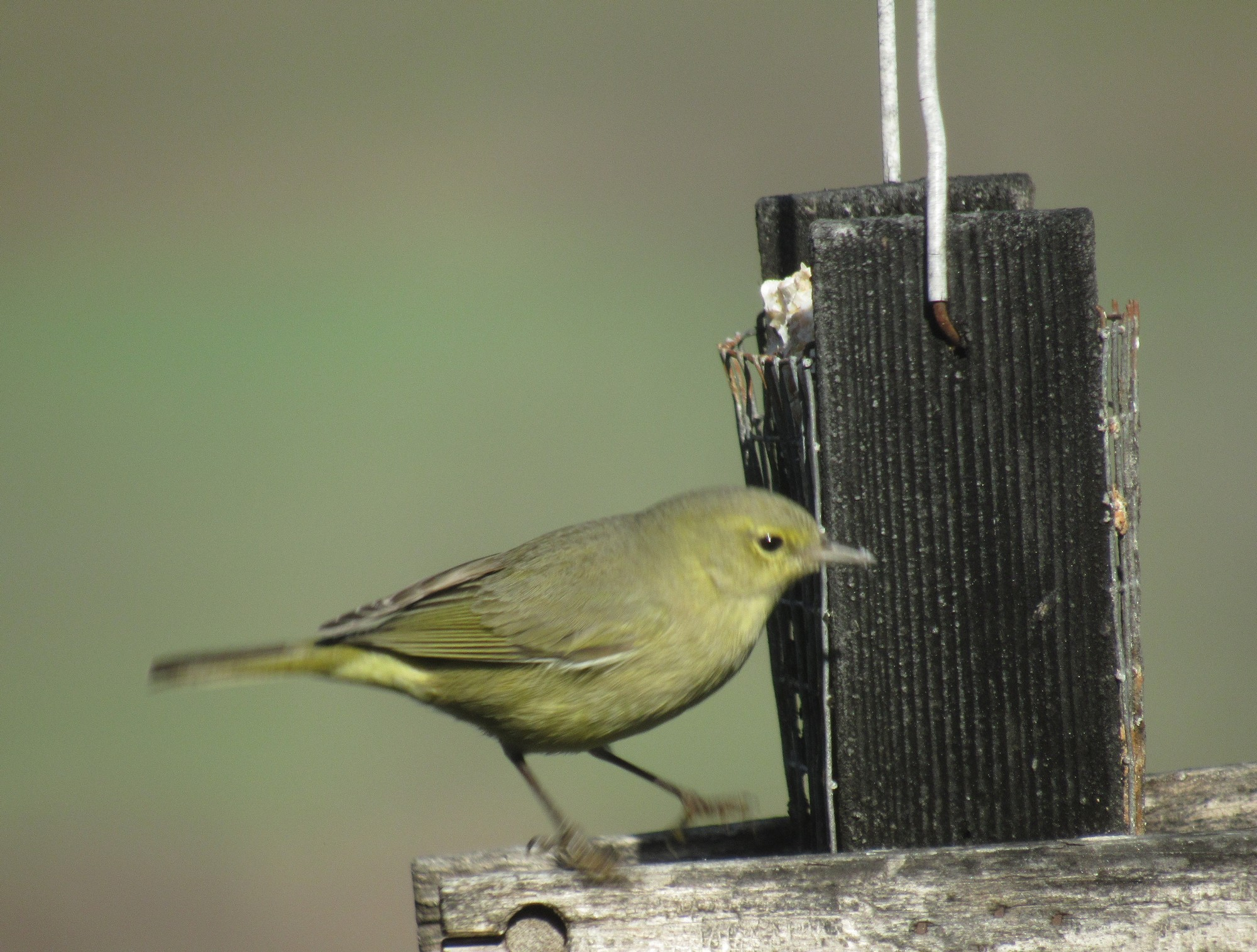 Suet feeder visitor.jpg