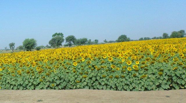 Sunflowers by the roadside.jpg