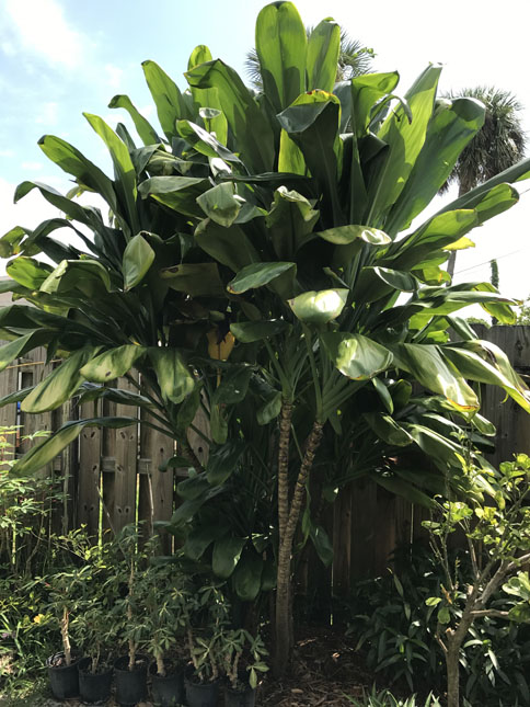Ti Plant for Craigs list.jpg