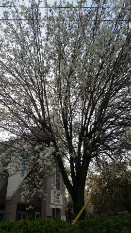 Beautiful White Flowering Trees Common In South Georgia